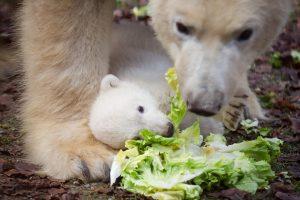 Joyeux anniversaire Nanuq (ours polaire)
