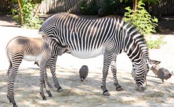 Naissance rare chez les zèbres de Grévy (Equus grevyi)