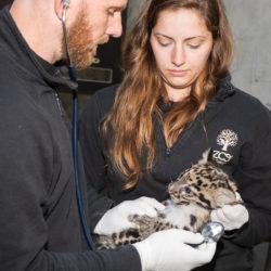 Premier check-up, vétérinaire, deux bébés panthères nébuleuses,Mulhouse